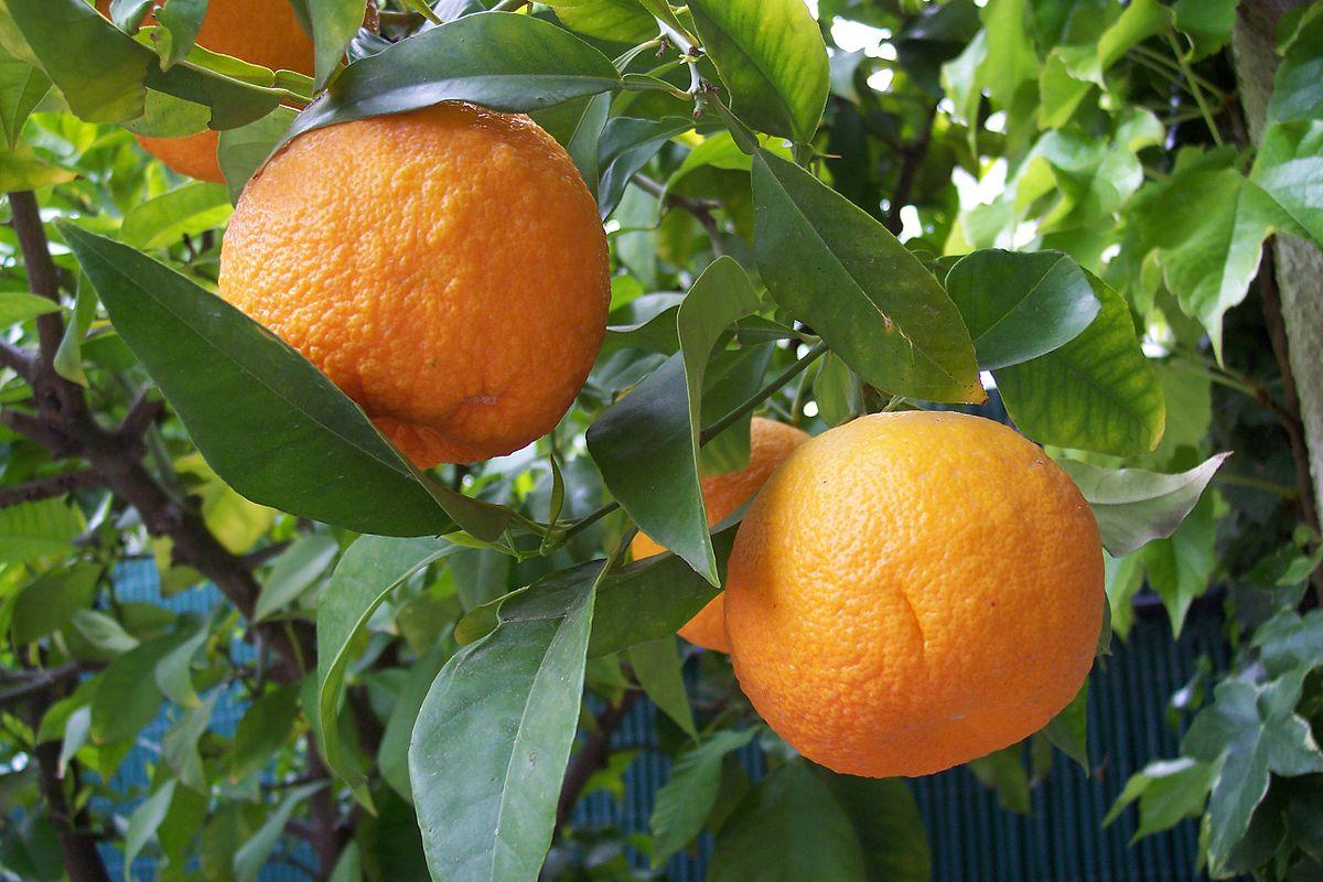 yabani portakal
