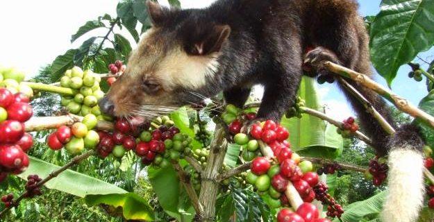 Kedi Dışkısından Yapılan Kahve! Dünyanın En Pahalı Kahvesi. Kopi Luwak